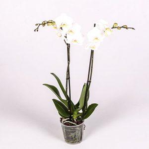 orquídea natural día de la madre